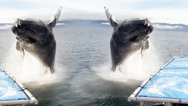 Man grabbed a camera in the hope of capturing humpback whales feeding and he wasn't disappointed_2