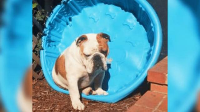 This Bulldogs Ridiculous Reaction To Getting A Paddling Pool