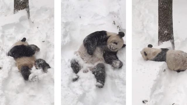 Tian Tian in the Snow Jan. 23, 2016