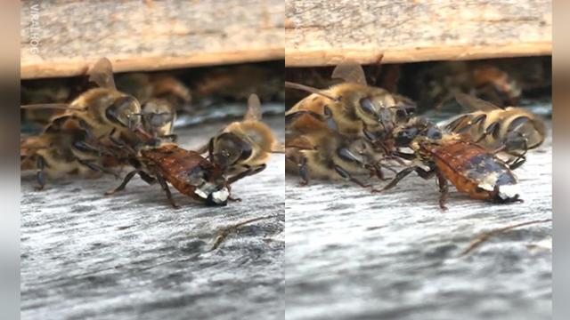 Watch as a bee covered in honey gets a hand from its fellow bees