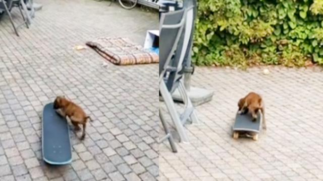 Eight-week old puppy skateboards like a pro