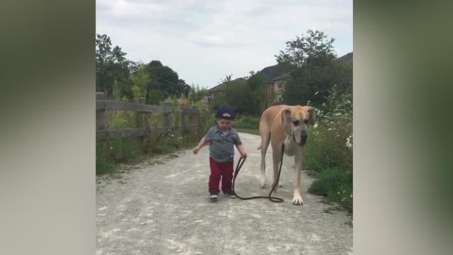 Huge dog lets tiny kid take him for a walk