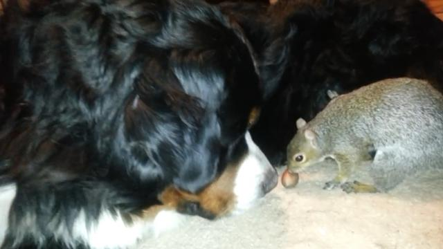 Squirrel tries to bury nuts in confused dogs fur