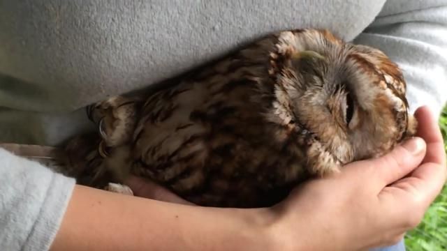 STROKING CLAUDE THE OWL AS HE FALLS SLEEP_Large