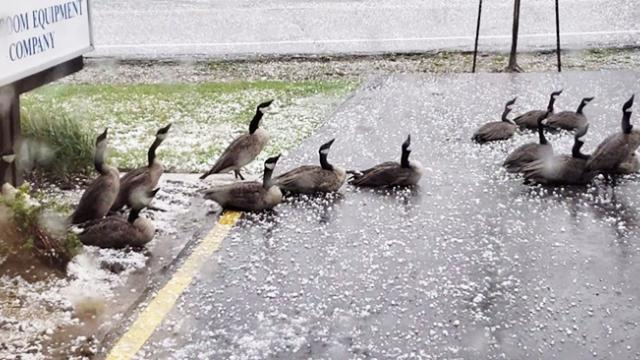 Canada geese weather hail storm