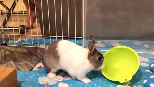Angry rabbit throws empty bowl to demand food