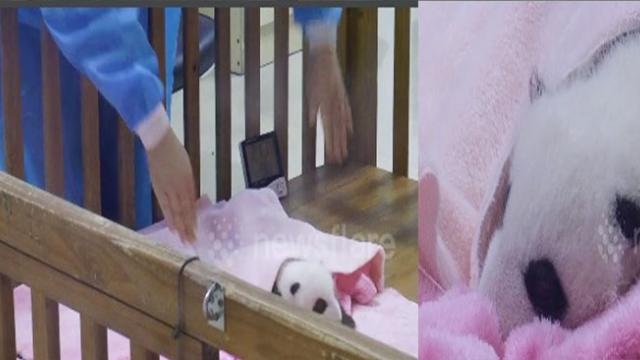 Adorable moment of Baby giant pandas in the nursery melts people's hearts