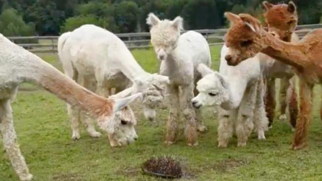 Mira el divertido video de estas alpacas que ven a un erizo y