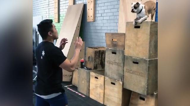 Adorable Mini Bulldog Takes Leap Of Faith Into Owners Arms & We're Smitten