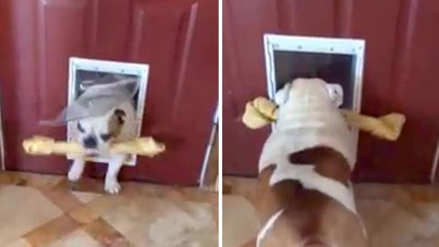 Bulldog trying to get her extra large bone through the doggy door