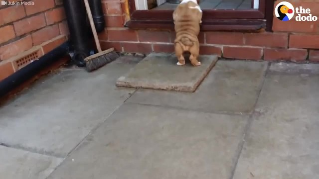 A Cute Bulldog Puppy Tries To Climb Through A Door Without The Need Of Help