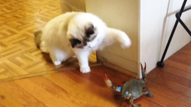 Cute Cat Meets Crab For The First Time And It Is Hilarious