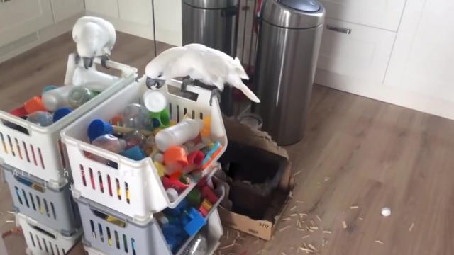 Curious Cockatoo Restores Disorder to Tidy Play Area