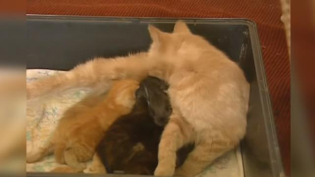 Cat Adopts Orphaned Rabbit