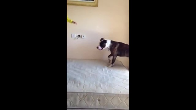 Two little girls teach their dog to jump on the bed and he jumps so well—he is a clear winner