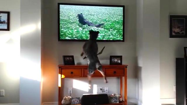 Dad catches the dog responding to commands on the TV, and