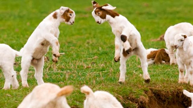 These lambs are so cute and adorable in this video compilation—look at them being playful around eac