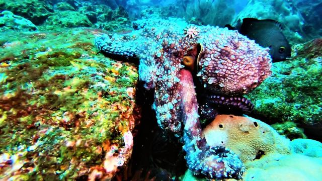 Octopus shows amazing color changing ability