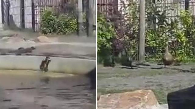 Hippos help duckling escape from pond in zoo