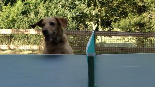 Dog Jumps Up And Down To Watch Ping Pong Match