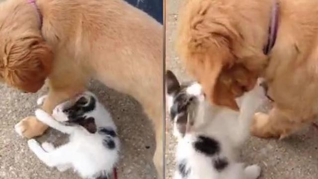 Tenacious Kitten Wrestles Gentle Golden Retriever Puppy