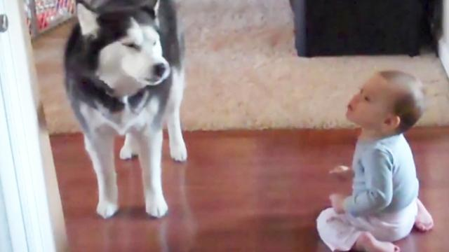Husky And Baby Speak The Same Language (LOL!)