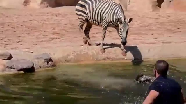 Heroic Zookeepers Save Drowning Newborn Zebra