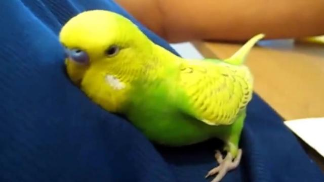 Bird cuddles up and talks himself to sleep