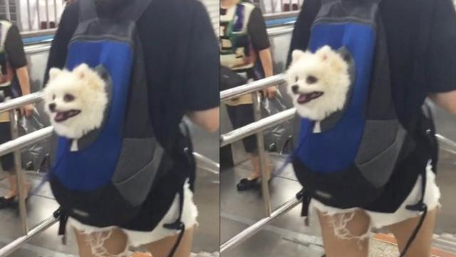 Adorable dog sits in backpack while travelling on subway