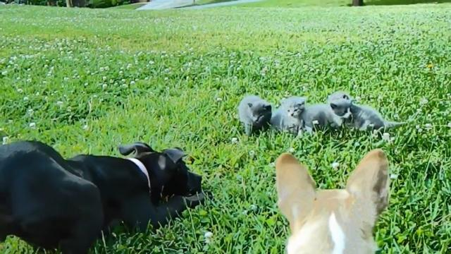Tiny Chihuahua made a bold attempt to protect kittens from a bigger dog