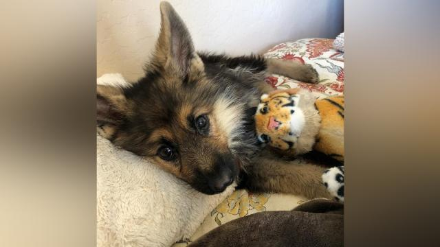 Tiny German Shepherd That Survived Rare 'Dwarfism' Might Be the Cutest Thing You Will Ever See