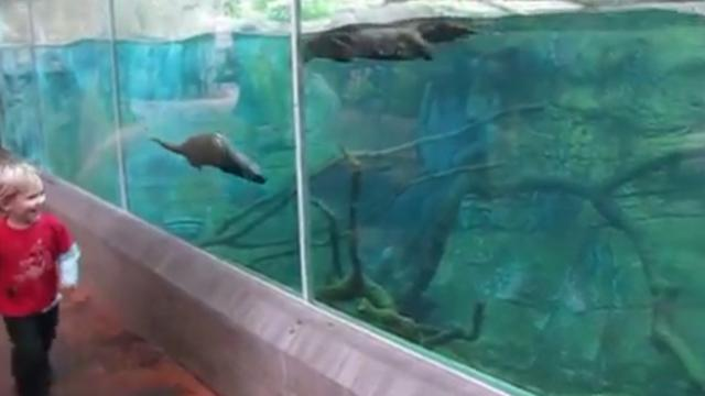 Otters At Zoo Swims Along With Running Boy