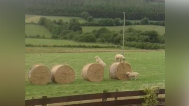 Adorable Lambs Put On A Hilarious Show For The Neighbors