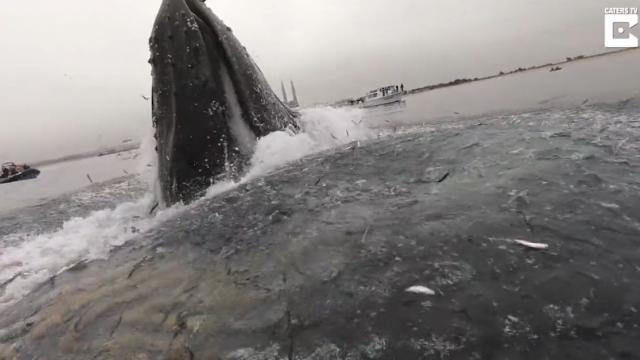 Whaley good time! Huge whale breaches inches from kayaker