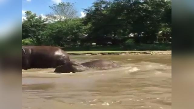 Elephants swim in the river at africa