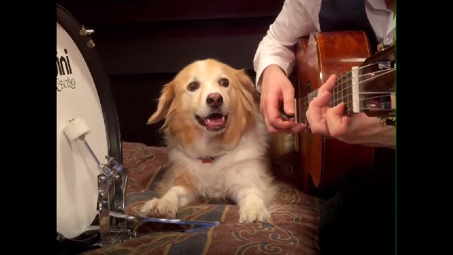 Watch A cute puppy plays the drums and has got his beats right!