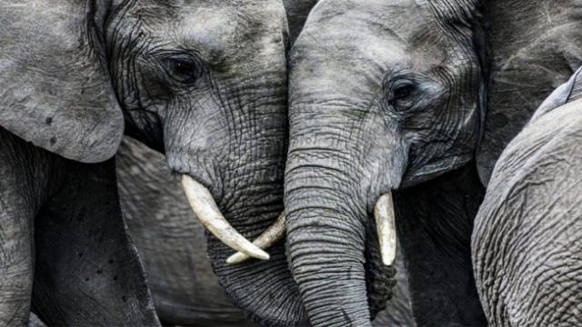 Scientists confirm South Korean Elephant can talk