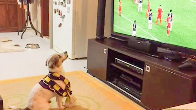 Fluffy rio furr-dinand – Dog goes crazy when his favourite team scores