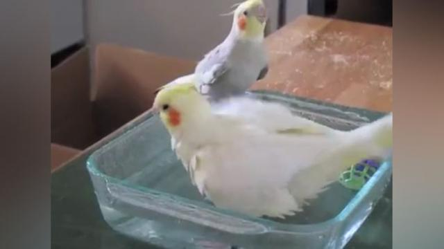 Cockatiel Bath Time Turns Into Singing Spectacle