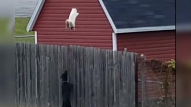 You Wont Believe How High This Cat Jumps To Flee A Dog