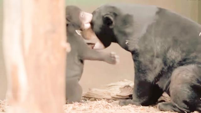 Lovely Sun Bear Cub plays on camera during public debut