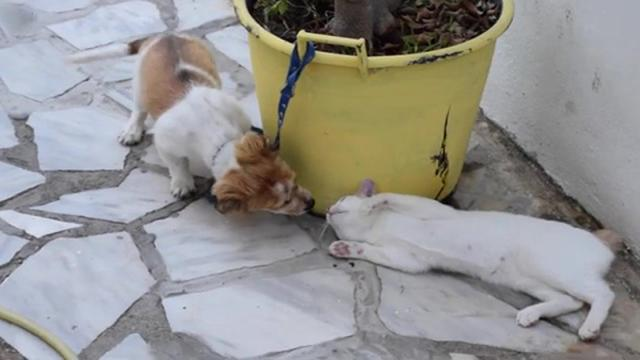 Tiny Puppy's Reaction After Meeting The House Cat Will Turn