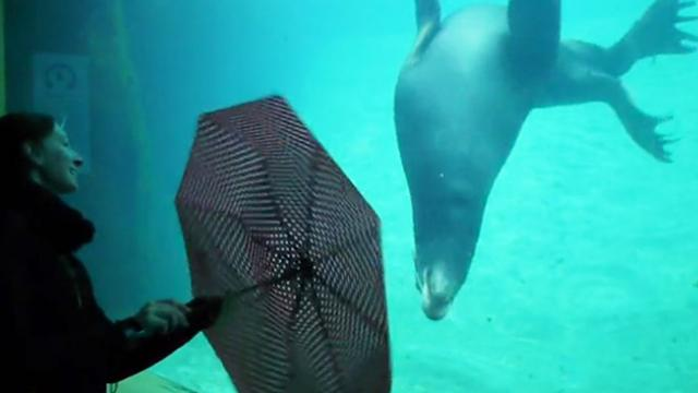 Adorable Sea Lion Performing Tricks With Umbrella
