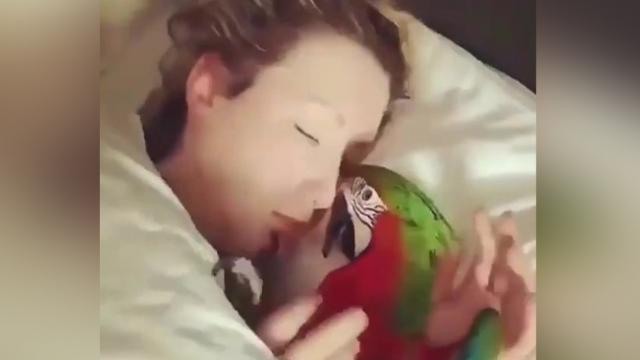 Adorable parrot wakes its sleeping owner with a gentle kiss on
