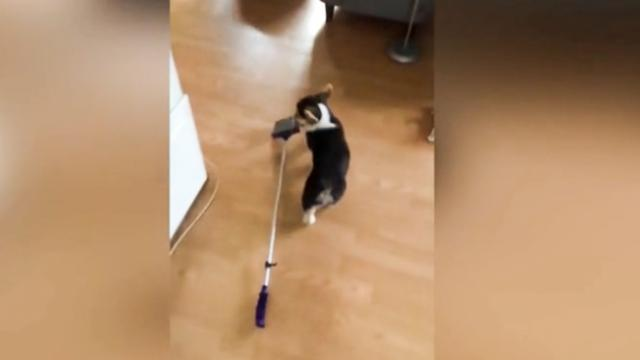 Would you hire this cleaning service- Clever corgi learns to use a broom