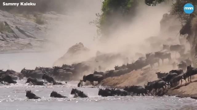 Watch as hundreds of wildebeest cross a river during the Great Wildebeest Migration