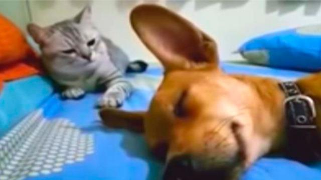 Dog Accidentally Farts In His Sleep But Its Cats Comeback That Has Internet Cracking Up