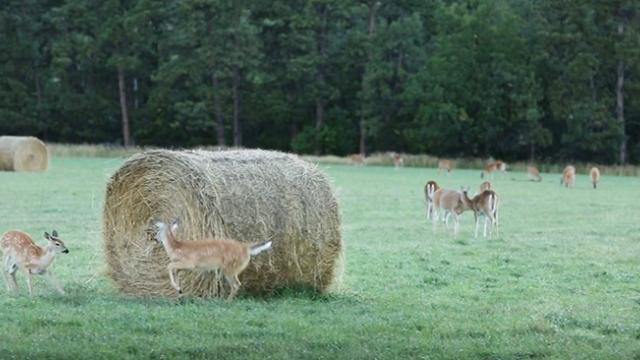 Farmer Captures Fawns Playing Cutest Game Of Tag.