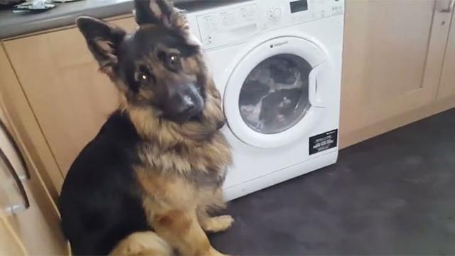 Guilty Dog Refuses To Make Eye Contact When Approached About