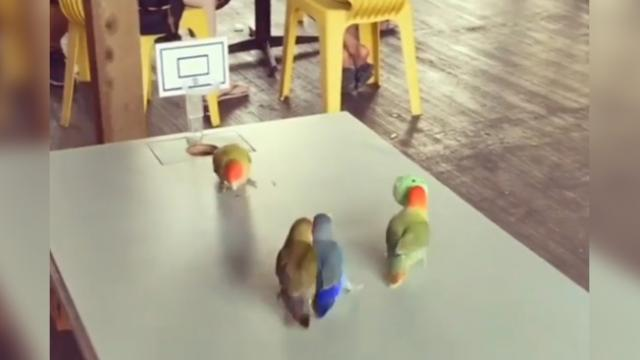 This is how the adorable version of mini-sized NBA looks like where the players are cute parakeets
